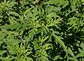 Common ragweed.jpg