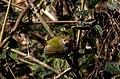 Common tailorbird (Orthotomus sutorius) 32.jpg