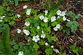 Common wood sorrel.jpg