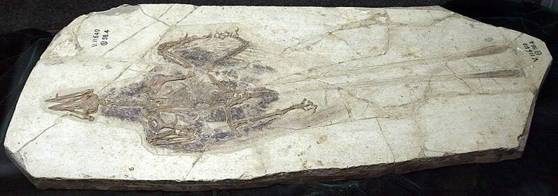 File:ConfusornisSanctus-PaleozoologicalMuseumOfChina-May23-08.jpg