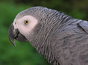 Grey parrot - The head of Congo grey parrot
