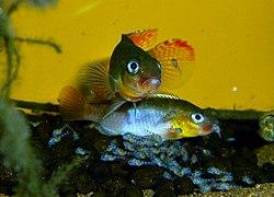 Congochromis sabinae Tshuapa.jpg