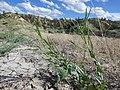 Conringia orientalis (7460989644).jpg