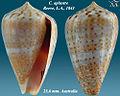 Conus aplustre 1.jpg