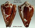 Conus brunneus 3.jpg