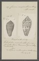 Conus mozambicus - - Print - Iconographia Zoologica - Special Collections University of Amsterdam - UBAINV0274 085 10 0030.tif
