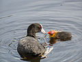Coot, with young (14194086627).jpg