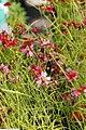 Coreopsis rosea Limerock Ruby 2zz.jpg