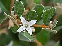 Correa Plant