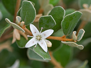 <i>Correa alba</i> Species of flowering plant