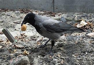 Corvus cornix Juglans regia - herbivory.jpg