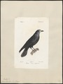 Corvus frugilegus - 1842-1848 - Print - Iconographia Zoologica - Special Collections University of Amsterdam - UBA01 IZ15700237.tif