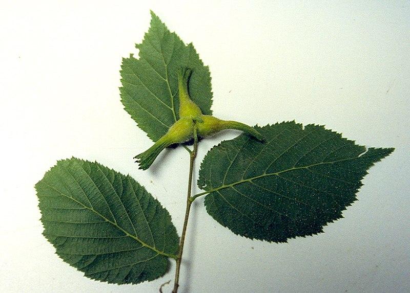 photo feuilles et fruits du noisetier à long bec