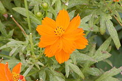 Cosmos orange-650px.jpg