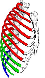 rib cage - wikipedia, Human Body