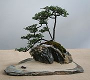 Cotoneaster bonsai at Enfield Bonsai Group Summer Show 2008.jpg