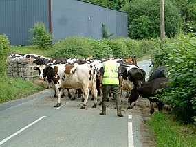 Cows Ahead - geograph.org.uk - 477118.jpg