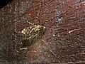 Crane Fly (Tipulidae) (8406304986).jpg