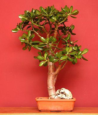 Crassula ovata - As an indoor bonsai