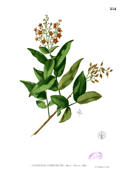 Cratoxylum sp Blanco2.254.png