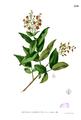 Cratoxylum sp Blanco2.254.png