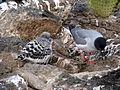 Creagrus furcatus -Galapagos Islands, Ecuador -adult and chick-8 (1).jpg