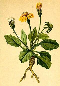 Crepis pygmaea Atlas Alpenflora.jpg