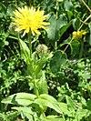 Crepis pyrenaica001