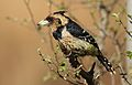 Crested Barbet, Trachyphonus vaillantii, at Walter Sisulu National Botanical Garden, Gauteng, South Africa (29416346662).jpg