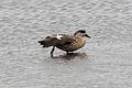 Crested Duck (Lophonetta specularioides) (15768368778).jpg