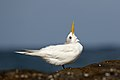 Crested Tern (Thalasseus bergii) (27943758059).jpg