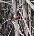 Crimson firetail 2 (8663779957).jpg