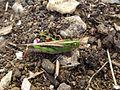 Criquet migrateur (17).jpg