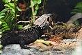 Crocodile red-eyed skink Toledo Zoo 8.18 DSC 0842 - 50618451396.jpg