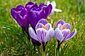 Crocuses (258668933).jpeg
