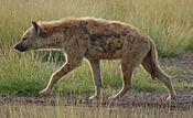 Crocuta crocuta Amboseli NP (cropped).jpg