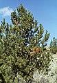 Cronartium ribicola Pinus flexilis (07).jpg