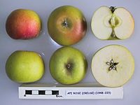 Cross section of Api Rose (Creuse), National Fruit Collection (acc. 1948-223).jpg