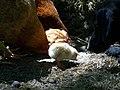Csirkepásztor - panoramio.jpg