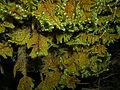 Ctenidium molluscum (Hedw.) Mitt.-Hřebenitka měkkounká3.jpg