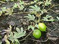 Cucurbitaceae -Trichosanthes tricuspidata.jpg