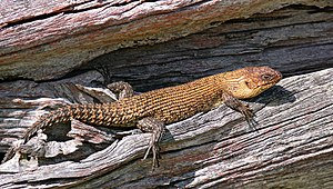 Xerocole - Ectotherms, such as this Cunningham's skink, often bask in the sun to regulate body temperature.