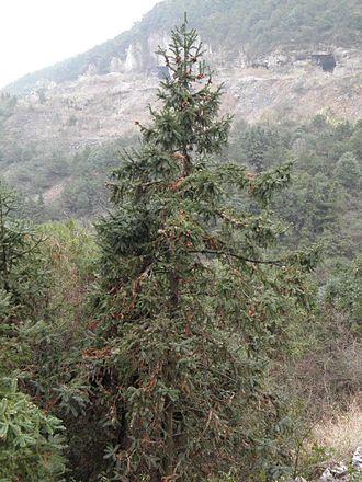 Cunninghamia - Cunninghamia lanceolata