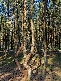 Curonian Spit NP 05-2017 img12 Dancing Forest.jpg