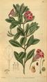 Curtis's Botanical Magazine, Plate 3113 (Volume 58, 1831).png