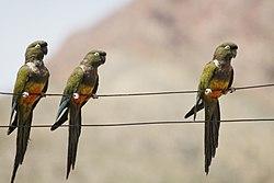 Cyanoliseus patagonus -Limari Province, Chile -three-8.jpg