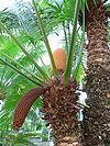 Cycas circinalis.jpg
