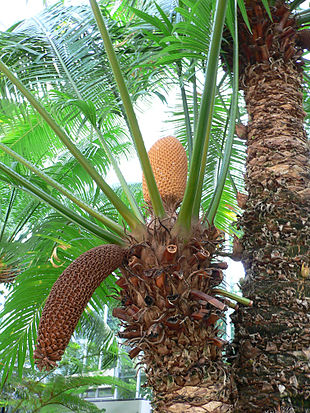"<em><a href=""http://search.lycos.com/web/?_z=0&q=%22Cycas%20rumphii%22"">Cycas rumphii</a></em> with old and new male cones."