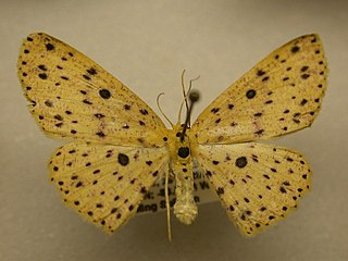 <i>Cyclophora</i> (moth) genus of insects