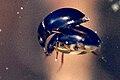 Cymbiodyta.marginella4.-.lindsey.jpg